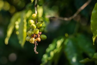 Grains de café (Domaine du café Grillé)