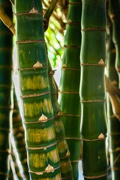 Bambou (Domaine du café Grillé)