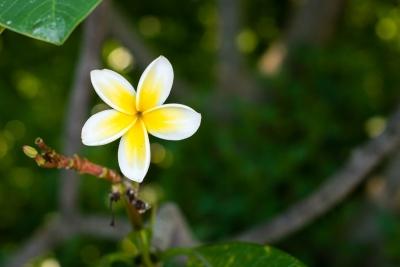 Fleur de frangipanier (Domaine du café grillé)