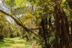 Sentier de la Tamarinaie, dans la forêt de Bélouve