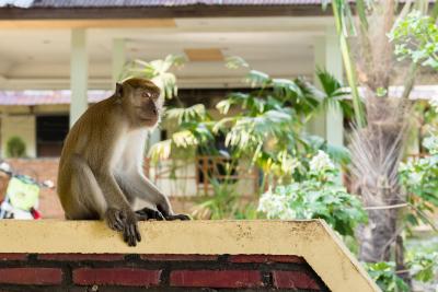 Macaque curieux